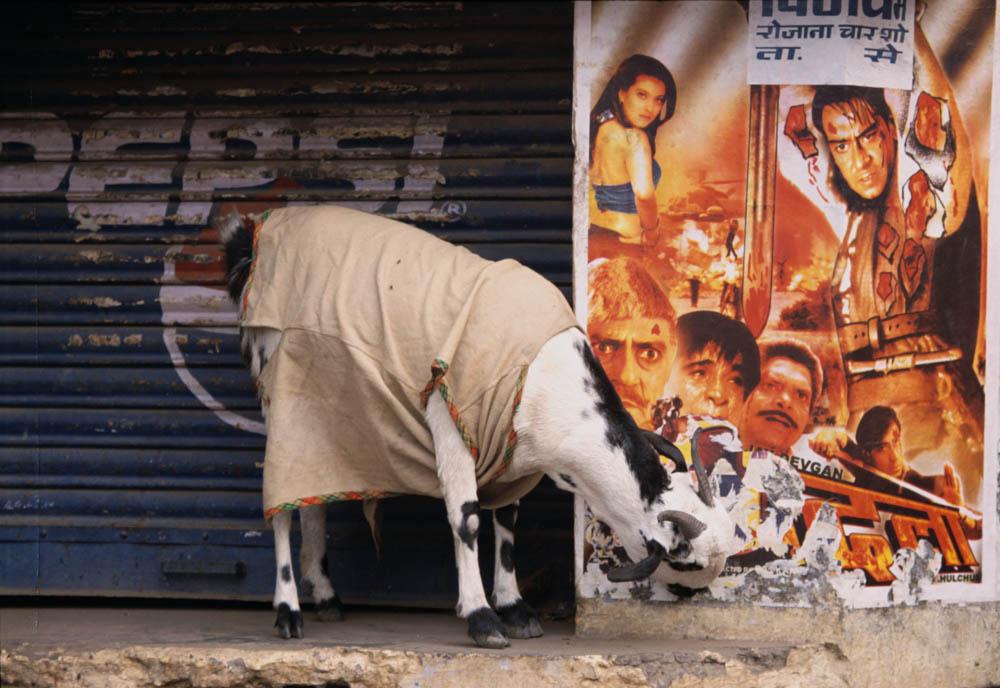 Bollywood Goat Gruff!